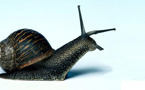 Black Snail 1